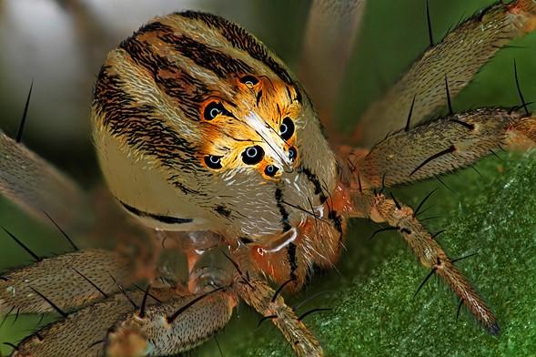 On Dördüncü — Antoine Franck, Femail Oxyopes dumonti (lynx) spider