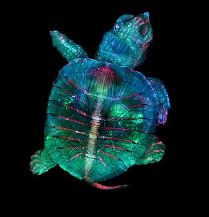 Birinci — Teresa Zgoda & Teresa Kugler, Fluorescent turtle embryo