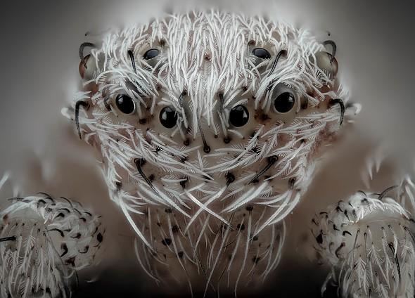 Altıncı — Javier Rupérez, Small white hair spider