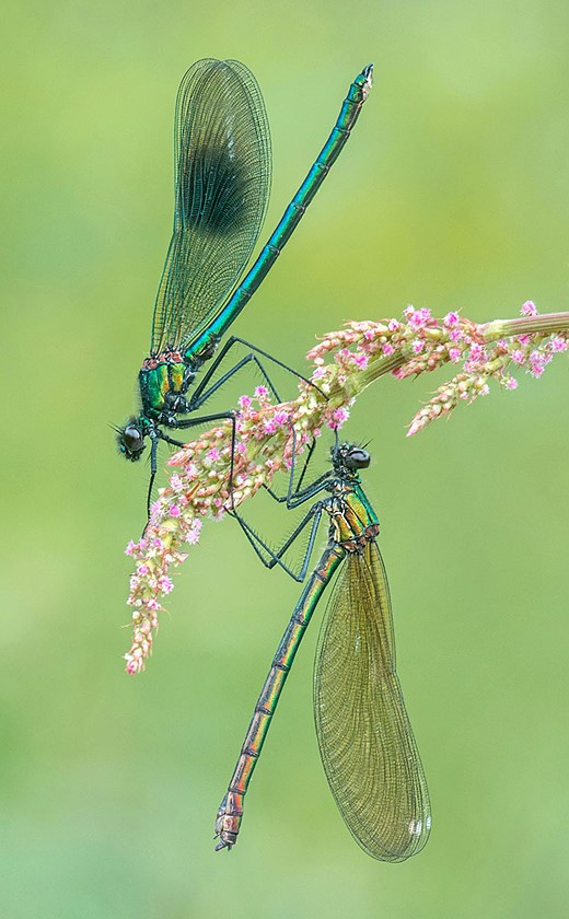 The Banded Demoiselles — Highly Commended Photographer: Tony North (Reddish Vale Country Park, Stockport, England, United Kingdom)