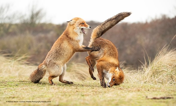 ©Alastair Marsh / Comedy Wildlife Photography Awards 2019 — Waltz Gone Wrong