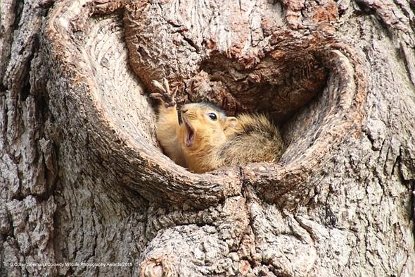 ©Corey Seeman / Comedy Wildlife Photography Awards 2019 — Who would like a peanut?