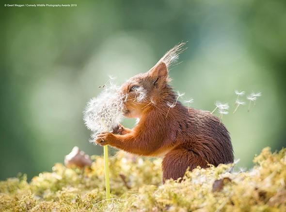 ©Geert Weggen / Comedy Wildlife Photography Awards 2019 — Squirrel Wishes