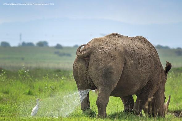 ©Tilakra Nagaraj / Comedy Wildlife Photography Awards 2019 — Warning! Territory marking, follow at your own risk