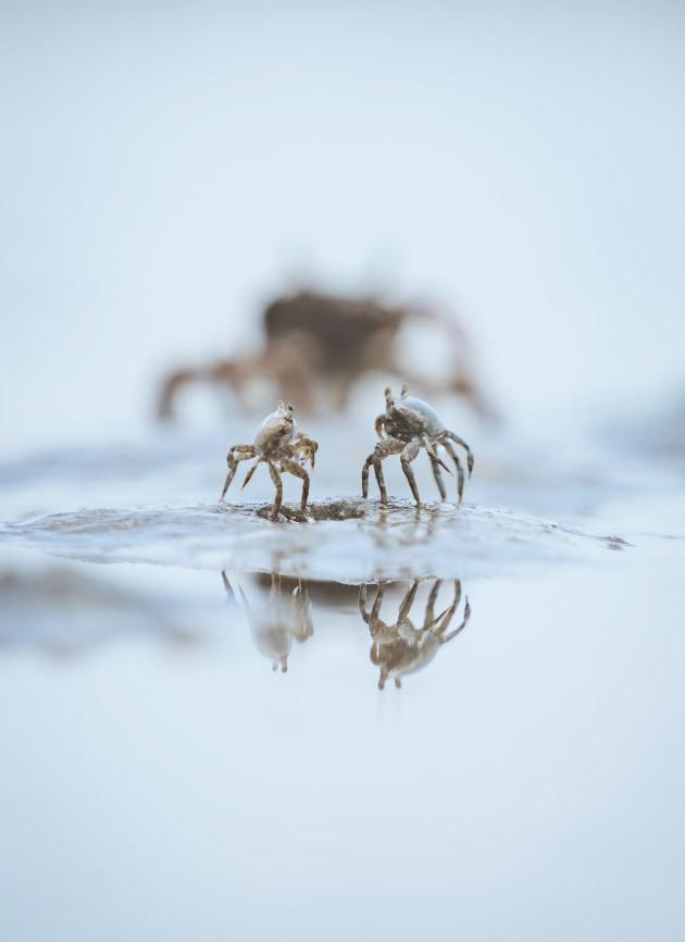 Crab stand off, Caleb Walsh, (NZ)
