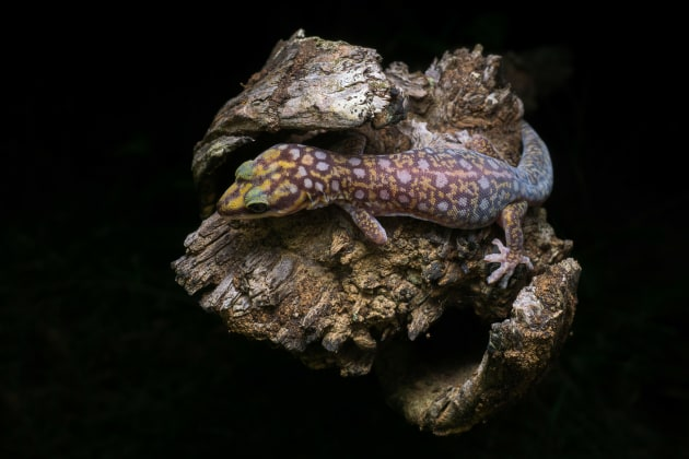 Ocellated velvet Gecko (Ben Revell (AU)